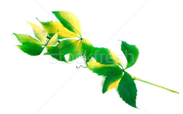 Groene tak druiven bladeren loof geïsoleerd Stockfoto © BSANI