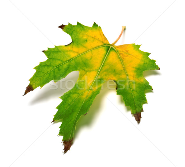 Autumn multicolor leaf Stock photo © BSANI
