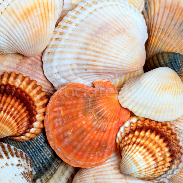 Shells of anadara and scallops Stock photo © BSANI