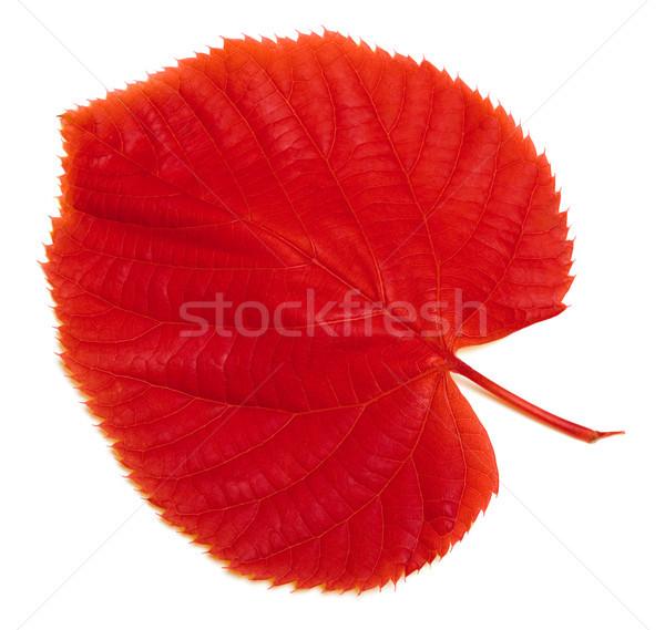 красный осень лист белый изолированный дерево Сток-фото © BSANI