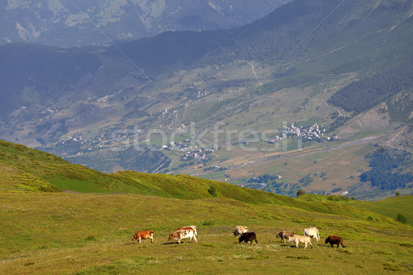 Grazing cow on green meadow in Caucasus Mountains Stock photo © BSANI