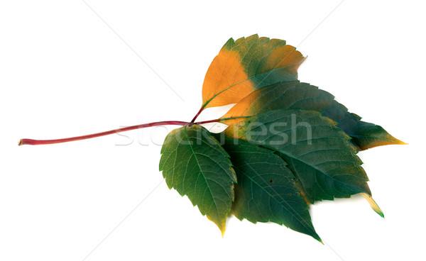 Multicolor virginia creeper leaf (Parthenocissus quinquefolia fo Stock photo © BSANI