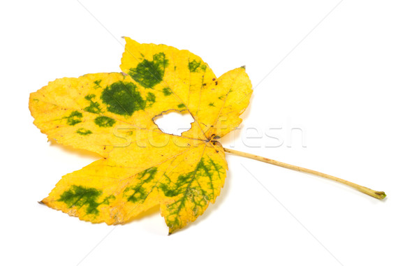 Autumn maple leaf with hole Stock photo © BSANI