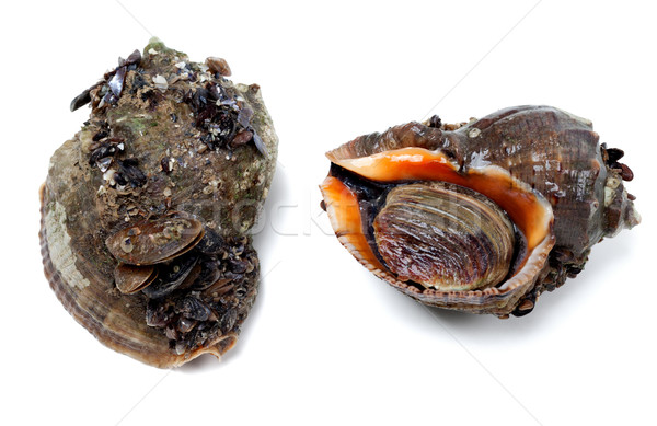 Stock photo: Two veined rapa whelk covered with small mussels