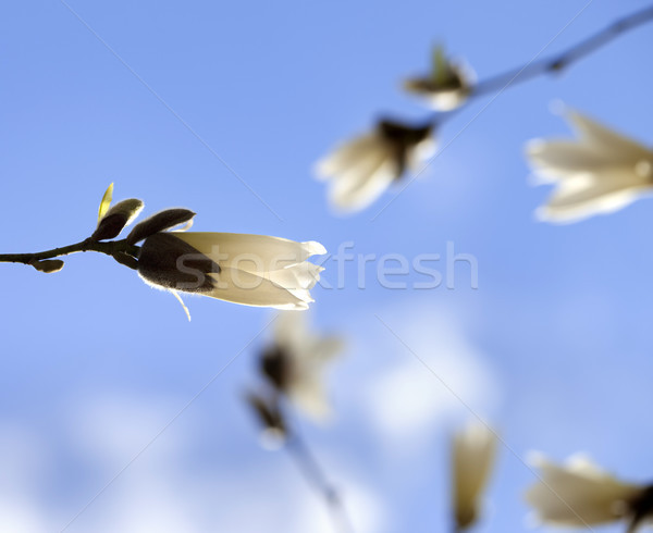 Buds of blooming magnolia and blue sky Stock photo © BSANI