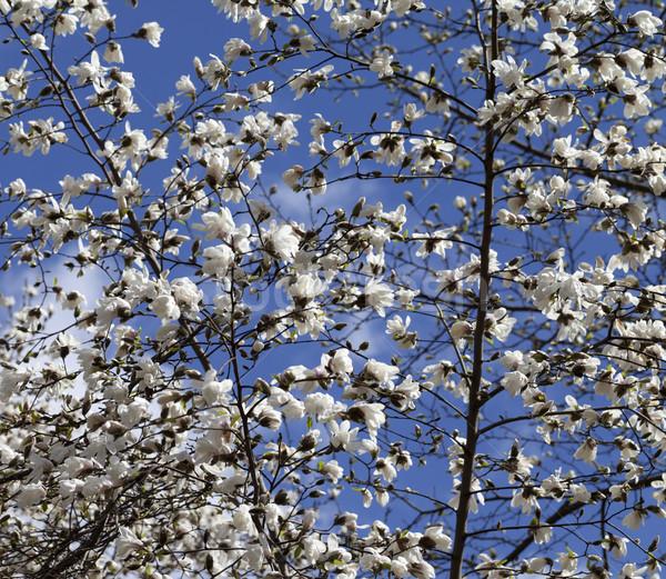 Spring blooming magnolia Stock photo © BSANI