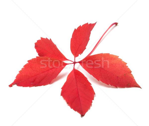 Rood najaar Virginia blad geïsoleerd witte Stockfoto © BSANI