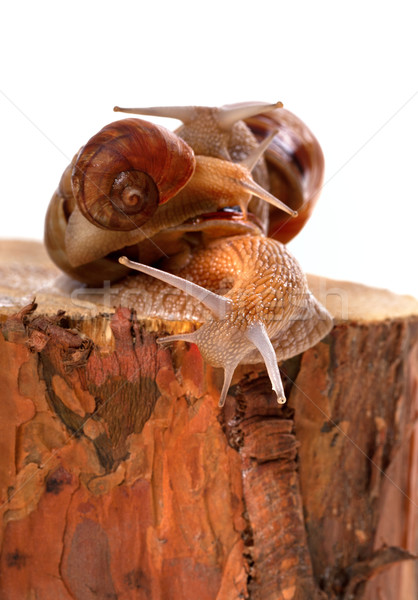 Three snails on pine-tree stump Stock photo © BSANI