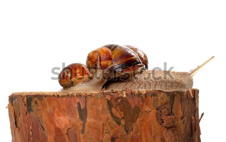 Snail and pine tree Stock photo © BSANI