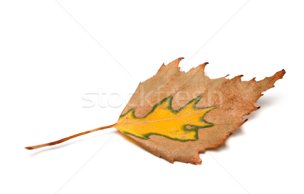 Autumn birch leaf on white background Stock photo © BSANI