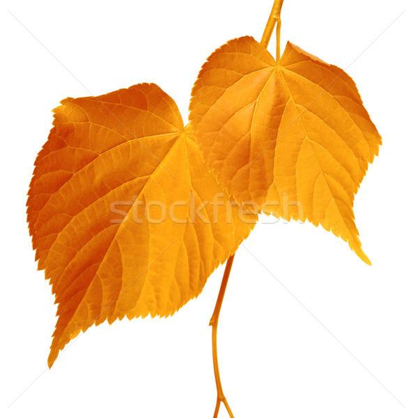 Autumnal leaves on white Stock photo © BSANI