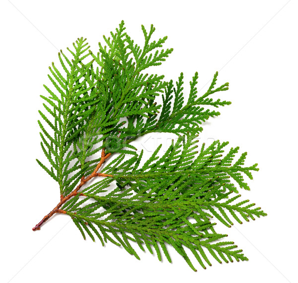 Branch of thuja Stock photo © BSANI