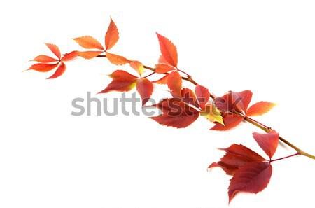 Sonbahar dal üzüm yaprakları yeşillik yalıtılmış Stok fotoğraf © BSANI