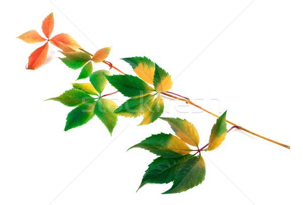 Multicolor yellowed twig of grapes leaves Stock photo © BSANI