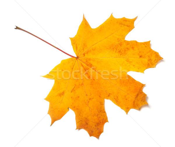 Automne jaune feuille d'érable isolé blanche Photo stock © BSANI