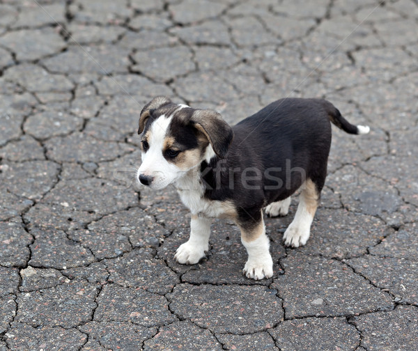 Stockfoto: Eenzaam · triest · puppy · gebarsten · grond · daklozen