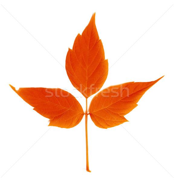 красный осень лист изолированный белый лес Сток-фото © BSANI