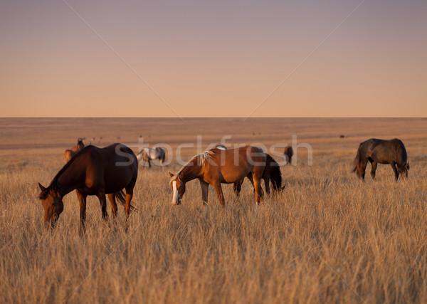 Herd of horses grazing in evening pasture Stock photo © BSANI