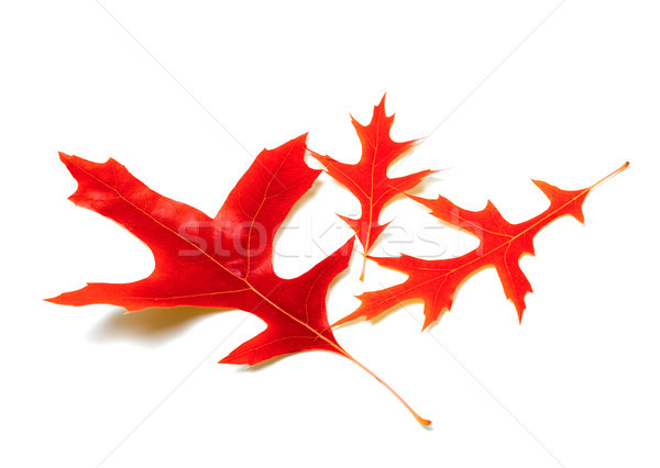 Three red leafs of oak Stock photo © BSANI