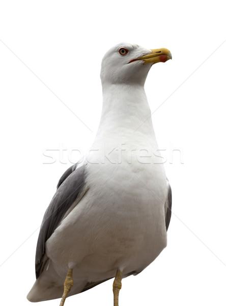 Seagull isolated on white background Stock photo © BSANI