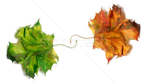 Stok fotoğraf: Iki · kuru · turuncu · yeşil · yalıtılmış · beyaz
