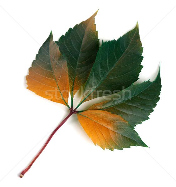 Multicolor autumnal virginia creeper leaf Stock photo © BSANI