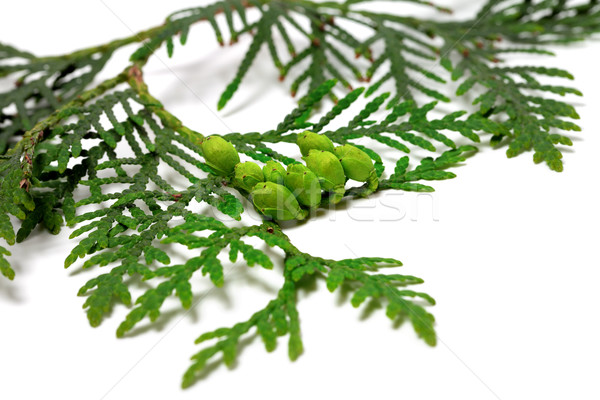 Twig of thuja with green cones isolated on white background Stock photo © BSANI