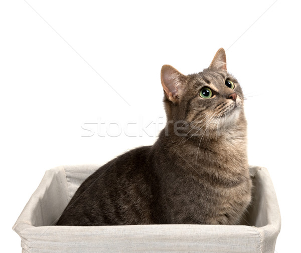 Gray cat with green eyes sitting in basket and looking up Stock photo © BSANI
