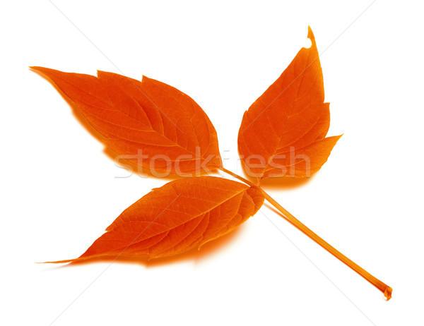 красный осень лист белый изолированный лес Сток-фото © BSANI