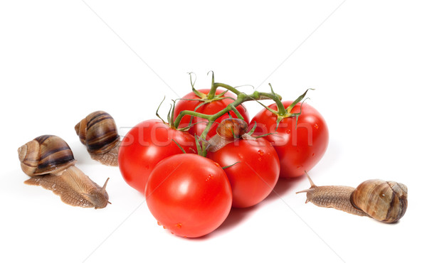 Family of snails and ripe tomato with water drop Stock photo © BSANI