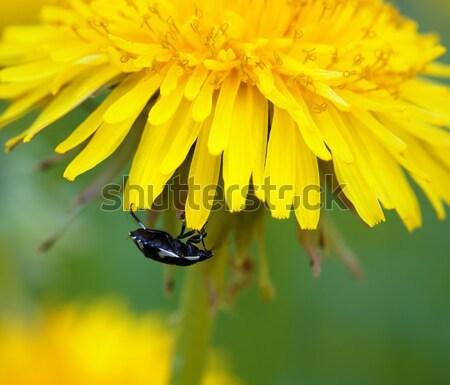 Besouro flor dandelion ver floresta Foto stock © BSANI