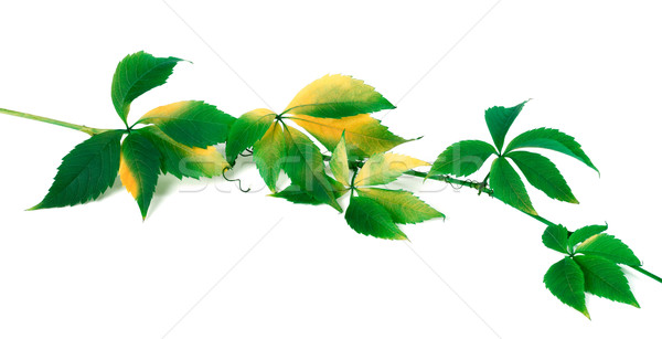 Green yellowed twig of grapes leaves Stock photo © BSANI