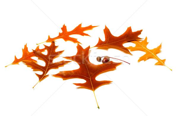 Jesienią dąb drzewo lasu charakter owoców Zdjęcia stock © BSANI
