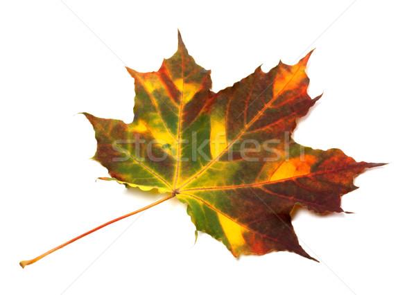 Multicolor autumnal maple leaf Stock photo © BSANI