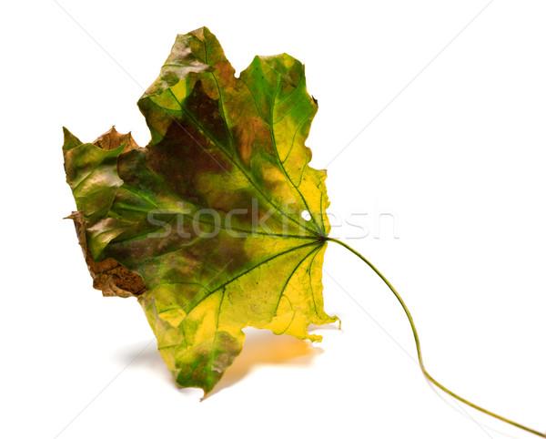 Dry yellowed maple-leaf Stock photo © BSANI