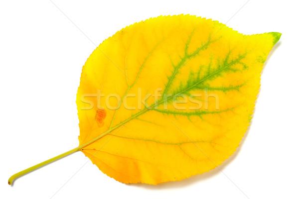 Yellowed autumn poplar leaf Stock photo © BSANI