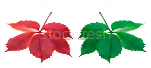 Piros zöld levelek Virginia levél izolált fehér Stock fotó © BSANI