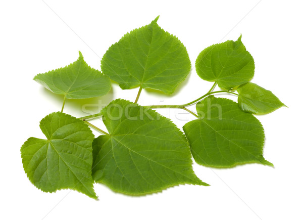 Green sprig of linden-tree Stock photo © BSANI