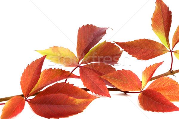 Autumnal twig of grapes leaves (Parthenocissus quinquefolia foli Stock photo © BSANI