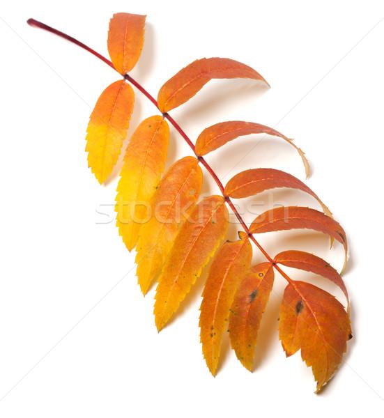 Autumn rowan leaf Stock photo © BSANI