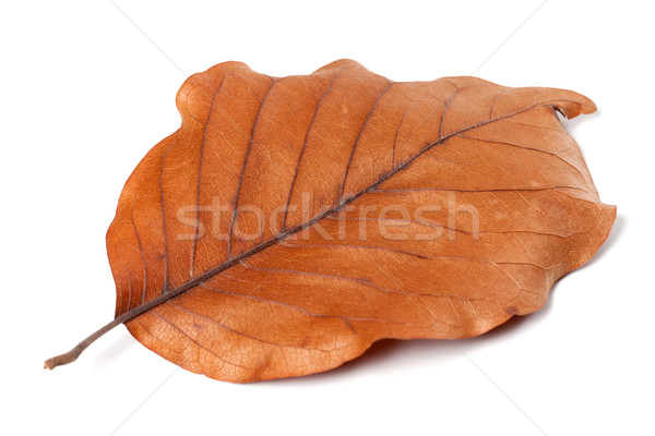 Dry autumn leaf of magnolia on white background Stock photo © BSANI