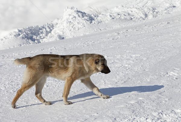 Dog on snowy ski slope at sun day Stock photo © BSANI
