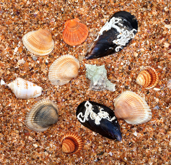 Seashells on sand in sun summer day Stock photo © BSANI