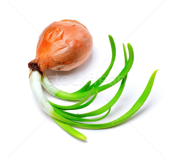 Sprouting onion (Allium cepa) Stock photo © BSANI