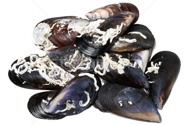 Shells of mussels Stock photo © BSANI