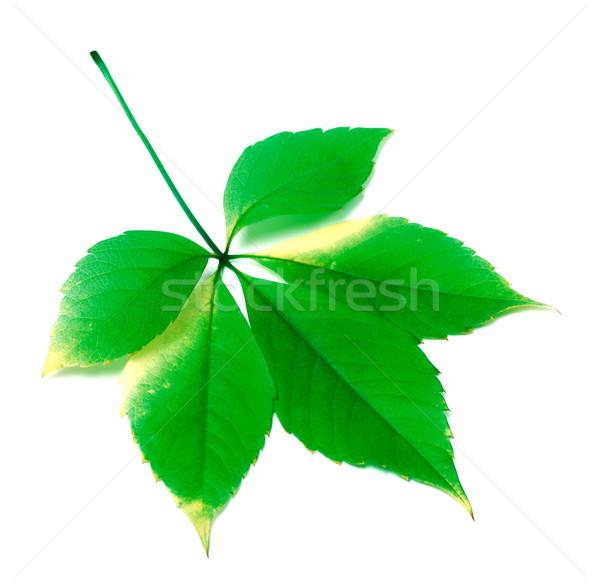 зеленый Виргиния листьев белый весны природы Сток-фото © BSANI