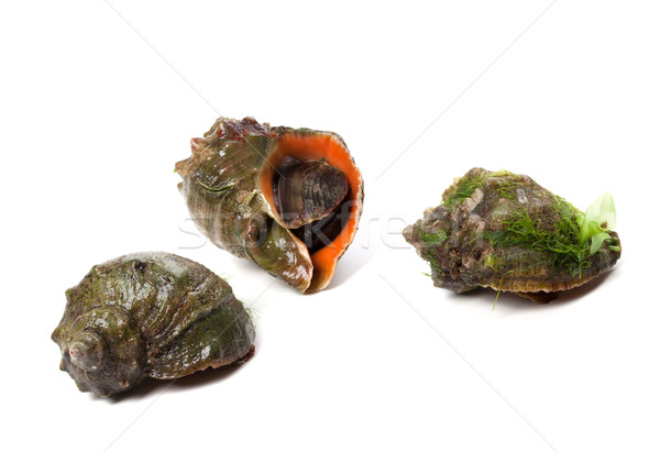Three rapana isolated on white background Stock photo © BSANI