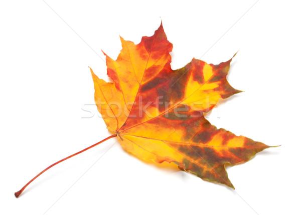 оранжевый осень Maple Leaf изолированный белый лес Сток-фото © BSANI