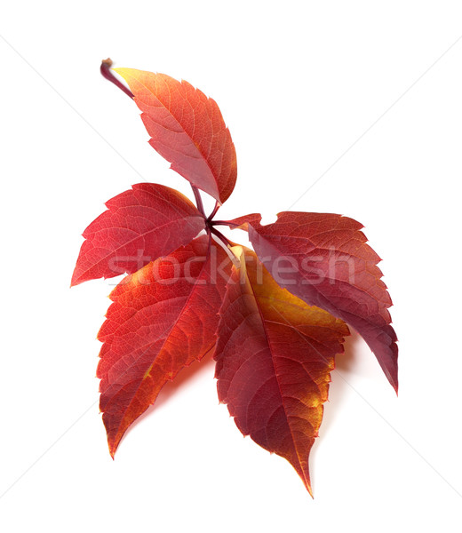 Red autum virginia creeper leaf  Stock photo © BSANI