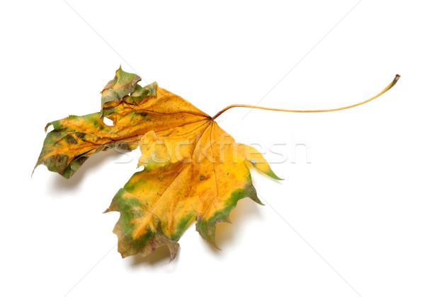 Autumn yellowed dry maple-leaf on white background Stock photo © BSANI